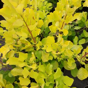 amberbaum liquidambar styraciflua 39 autumn color. Black Bedroom Furniture Sets. Home Design Ideas