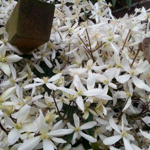 waldrebe clematis hybride 39 john paul ii 39 hoffbuhr pflanzen. Black Bedroom Furniture Sets. Home Design Ideas