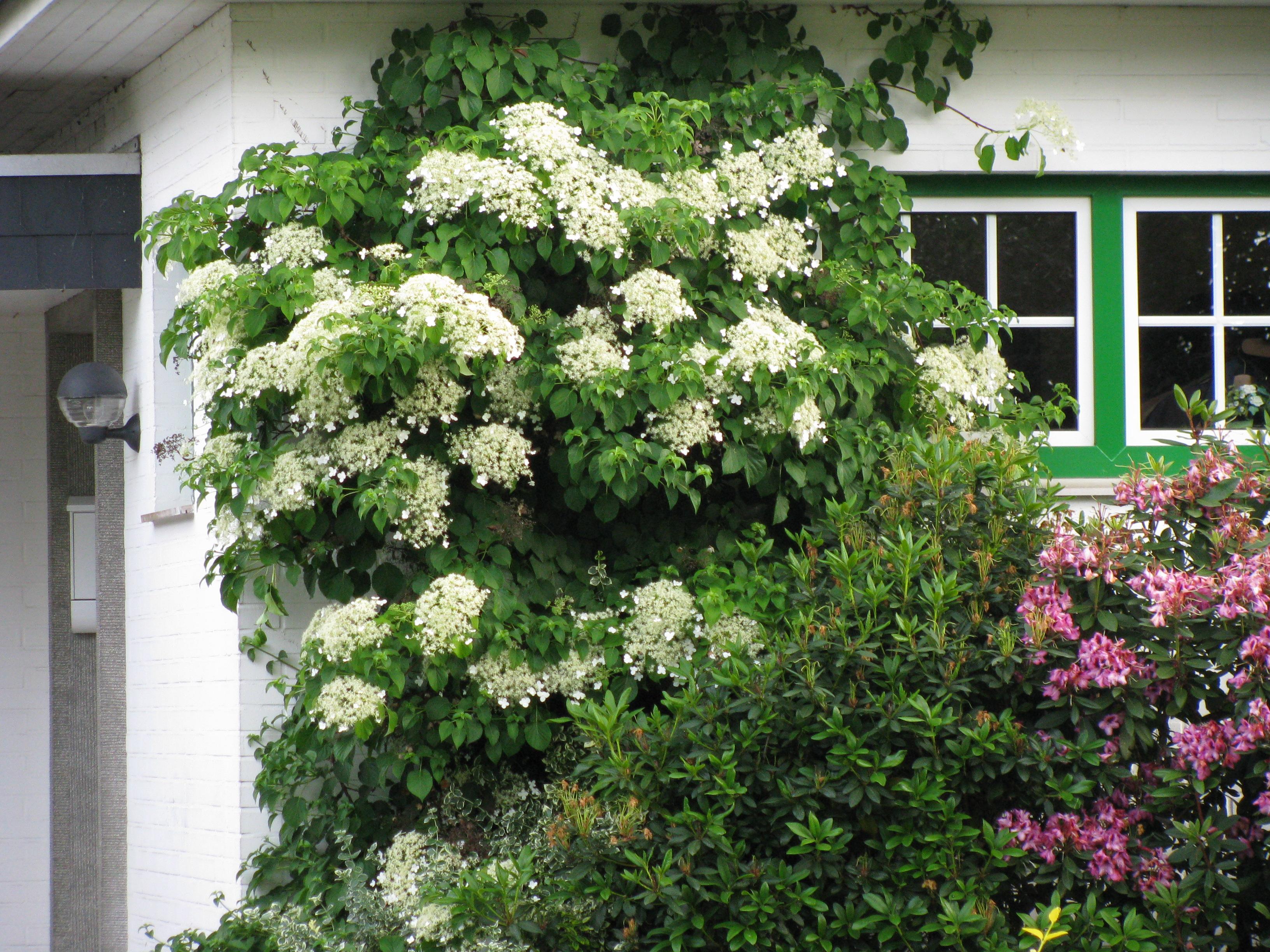 kletterhortensie hydrangea petiolaris hoffbuhr pflanzen. Black Bedroom Furniture Sets. Home Design Ideas