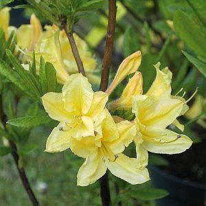 rhododendron taliense 39 honigduft 39 hoffbuhr pflanzen. Black Bedroom Furniture Sets. Home Design Ideas
