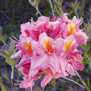 gartenazalee rhododendron luteum 39 sunny boy 39 hoffbuhr. Black Bedroom Furniture Sets. Home Design Ideas