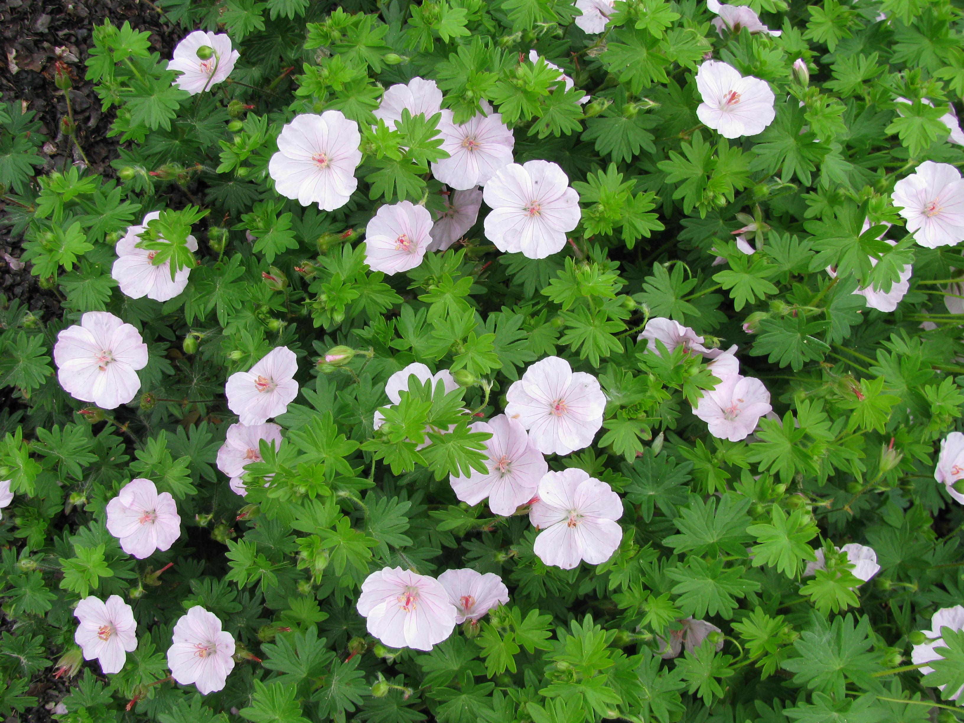storchschnabel geranium sanguineum 39 apfelbl te 39 hoffbuhr. Black Bedroom Furniture Sets. Home Design Ideas
