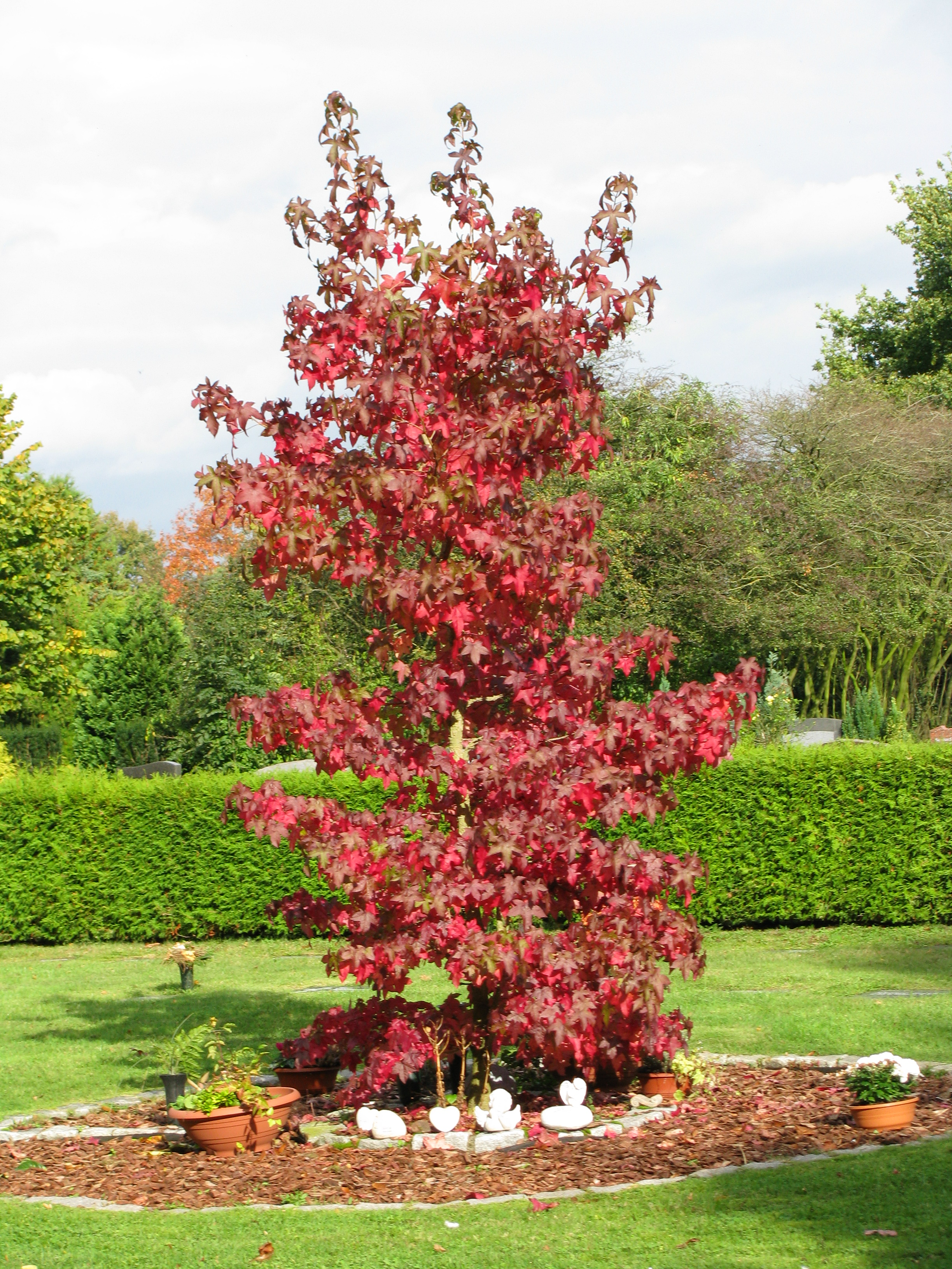 amberbaum liquidambar styraciflua 39 autumn color 39 hoffbuhr pflanzen. Black Bedroom Furniture Sets. Home Design Ideas
