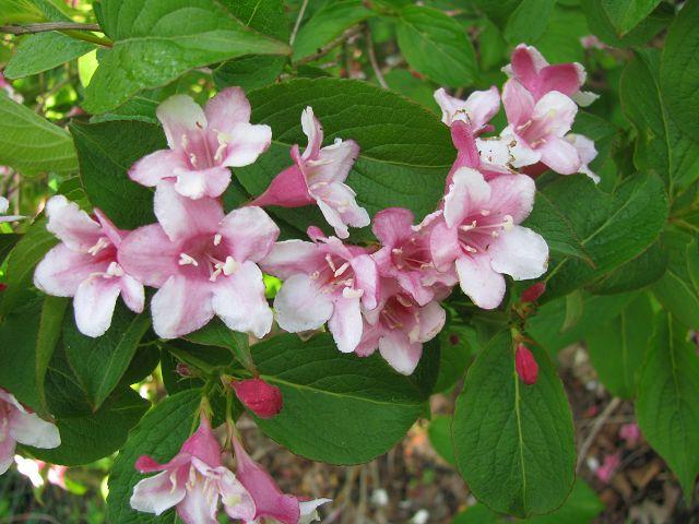 weigelie weigelia florida 39 purpurea 39 hoffbuhr pflanzen. Black Bedroom Furniture Sets. Home Design Ideas