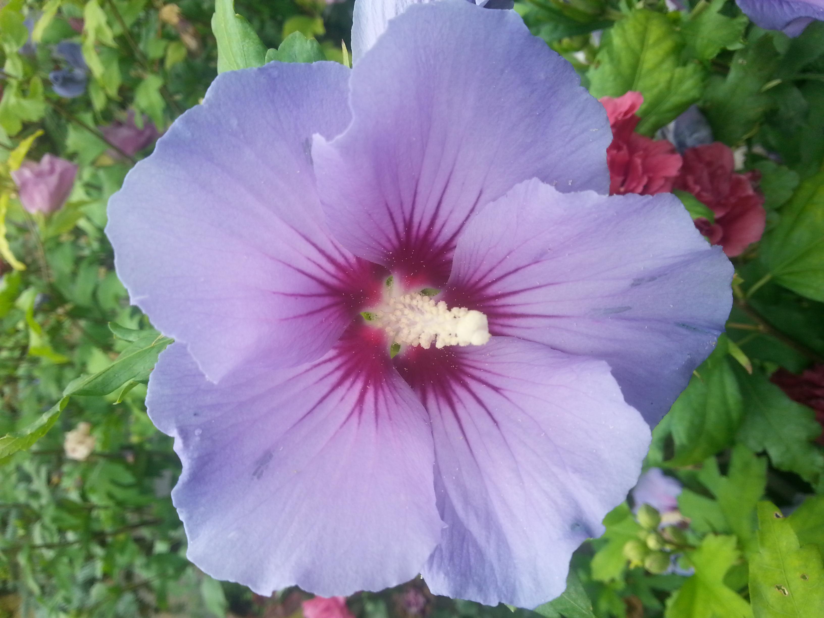 Eibisch Hibiscus Syriacus Blue Bird Hoffbuhr Pflanzen
