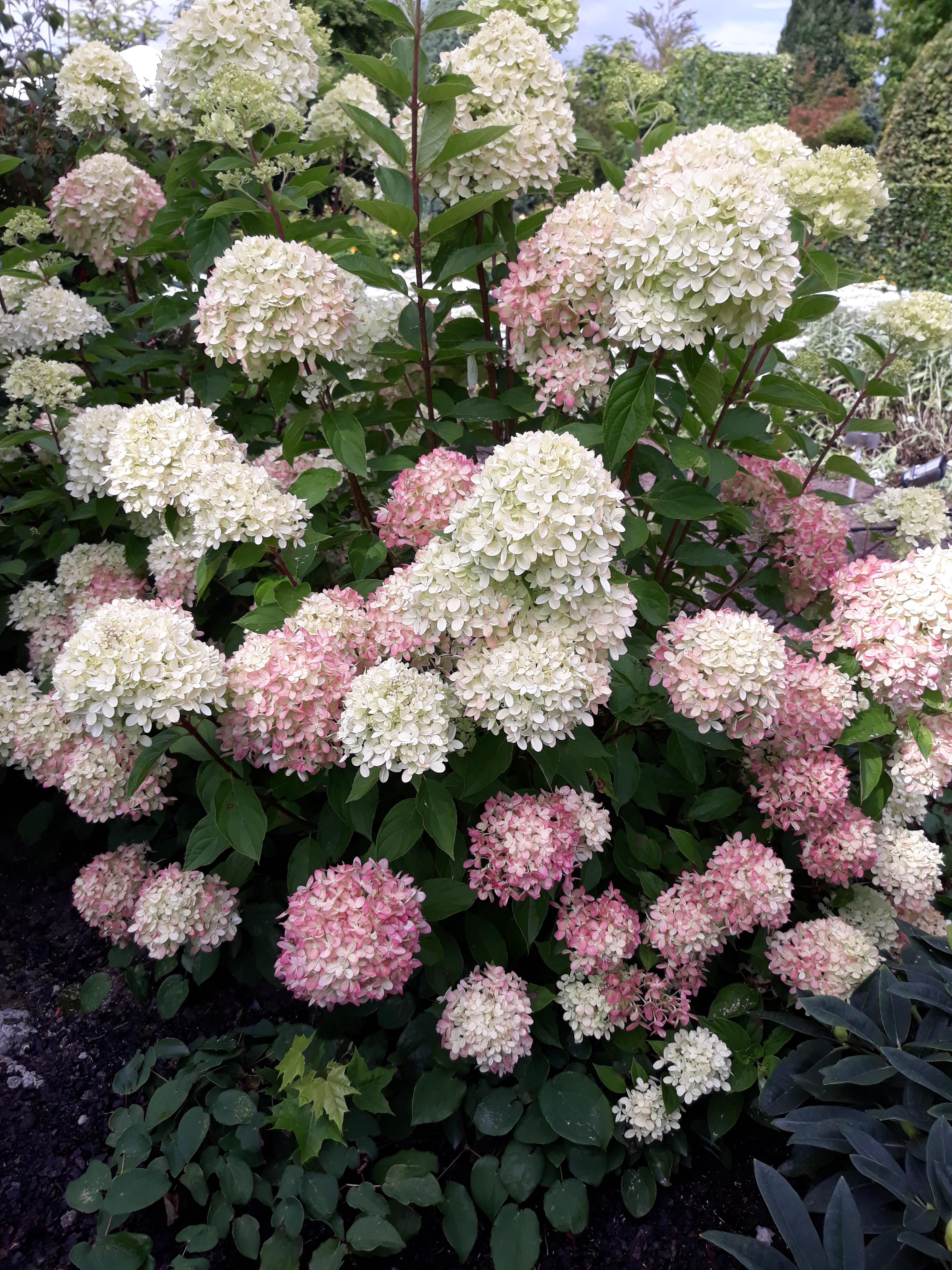 rispen hortensie hydrangea paniculata 39 little lime 39 hoffbuhr pflanzen. Black Bedroom Furniture Sets. Home Design Ideas