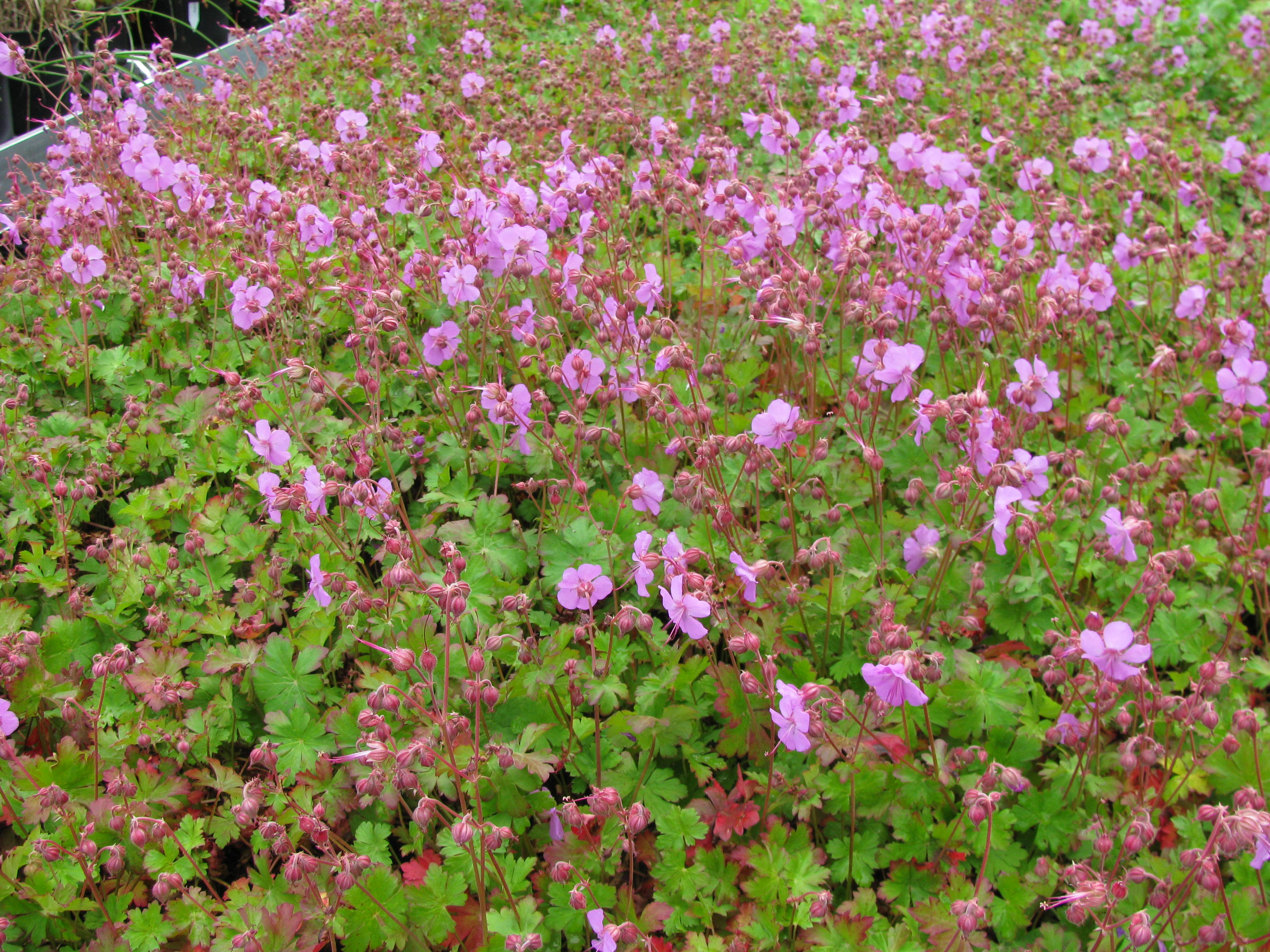 storchschnabel geranium x cantabrigiense 39 cambridge 39 hoffbuhr pflanzen. Black Bedroom Furniture Sets. Home Design Ideas
